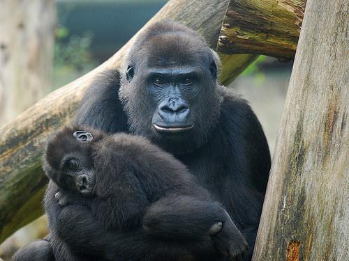 Los gorilas son grandes simios ... Mira, era esto o una captura de pantalla de JavaScript.